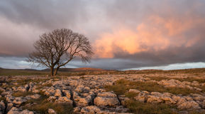 Sunset over Lone Tree, Yorkshire Dales. Lone tree above Malham Cove, Yorkshire Dales Royalty Free Stock Photo