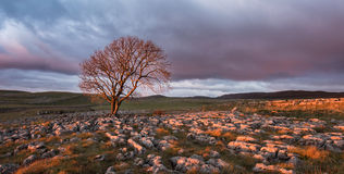 Sunset over Lone Tree, Yorkshire Dales. Lone tree above Malham Cove, Yorkshire Dales Stock Photos