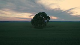 Sunset over lonely tree and green wheat field, aerial video.  stock video