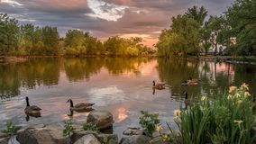 Sunset over Loveland Lake Colorado USA. Orange yellow sunset over the lake in Loveland with swimming ducks and yellow daffodils stock photos