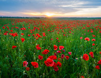 Sunset over the meadow of blooming red poppies Royalty Free Stock Images