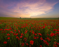 Sunset over the meadow of blooming red poppies Stock Images