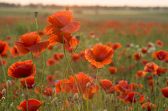 Sunset over the meadow of blooming red poppies Royalty Free Stock Photography