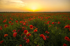 Sunset over the meadow of blooming red poppies Royalty Free Stock Photos