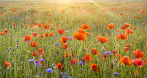 Sunset over the meadow of blooming red poppies Stock Photo