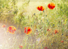 Sunset over the meadow of blooming red poppies Stock Photography