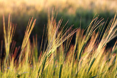 Sunset over oats field. Ears of oats on the background of a sunset in field royalty free stock photo