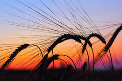 Sunset over oats field Royalty Free Stock Photos