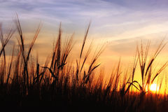 Sunset over oats field Stock Photos