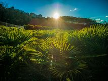 Sunset over a palm growing field royalty free stock image