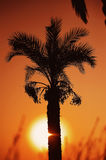Sunset over palm tree Royalty Free Stock Photo