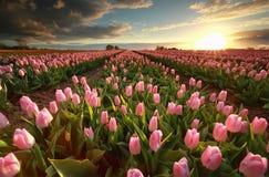 Sunset over pink tulip field Stock Photo