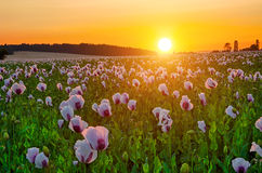 Sunset over poppy field Royalty Free Stock Photography