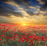 Sunset over poppy field Royalty Free Stock Photos