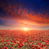 Sunset over poppy field Stock Photography