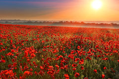 Sunset over poppy field Royalty Free Stock Image
