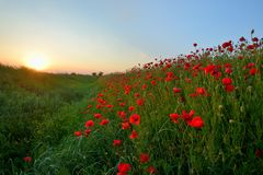 Sunset over poppy field Stock Images