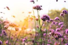 Sunset over purple flower field. Nature background Stock Photos