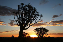 Sunset over quiver trees. Sunset over Desert landscape with silhouettes of a quiver tree (Aloe dichotoma). South Namibia. Namibia Stock Photos