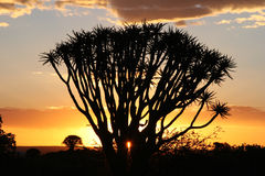 Sunset over quiver trees. Sunset over Desert landscape with silhouettes of a quiver tree (Aloe dichotoma). South Namibia. Namibia Stock Images