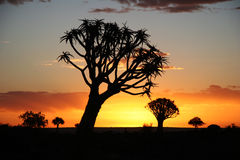 Sunset over quiver trees. Sunset over Desert landscape with silhouettes of a quiver tree (Aloe dichotoma). South Namibia. Namibia Stock Image