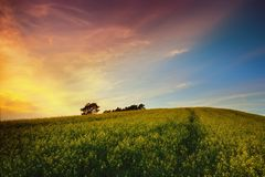 Sunset over rapeseed field Royalty Free Stock Image
