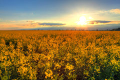 Sunset over rapeseed field Royalty Free Stock Photography