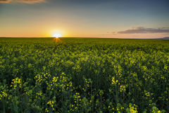 Sunset over the rapeseed field Royalty Free Stock Images