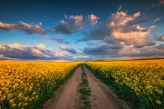 Sunset over the rapeseed field, beautiful spring day. Rural path stock photo