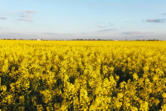 Sunset over rapeseed field Royalty Free Stock Photos
