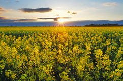 Sunset over rapeseed field Stock Photo