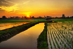 Sunset over rice farm Stock Photos