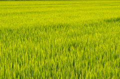 Sunset over rice farm Royalty Free Stock Image