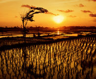 Sunset over the rice fields Stock Image