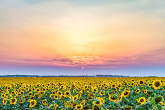 Sunset over a rural plain with blossoming field of sunflowers