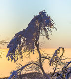 Sunset over snow-covered forest. On the Feldberg in the Taunus mountains Royalty Free Stock Photography