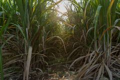 Free Sunset Over Sugar Cane Field. Road In Sugarcane Farm And Sunrise. Sugarcane, Royalty Free Stock Photography - 162277117