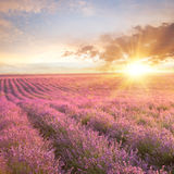 Sunset over a summer lavender field. Stock Photography