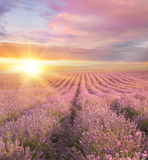 Sunset over a summer lavender field. Royalty Free Stock Image