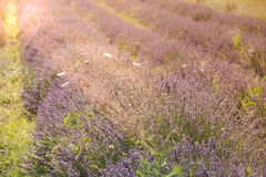 Sunset over a summer lavender field in Provence, France Stock Images