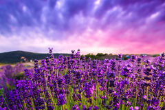 Sunset over a summer lavender field Royalty Free Stock Image