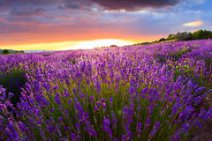 Sunset over a summer lavender field royalty free stock photos