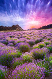 Sunset over a summer lavender field royalty free stock images