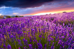 Sunset over a summer lavender field Royalty Free Stock Photography
