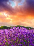 Sunset over a summer lavender field Stock Photography