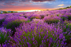 Sunset over a summer lavender field Royalty Free Stock Photo