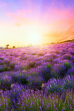 Sunset over a summer lavender field in Tihany stock image