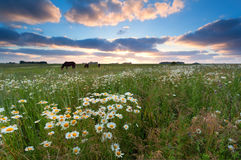 Sunset over summer meadow with chamomile flowers Stock Images