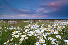 Sunset over summer wildflower field Royalty Free Stock Images