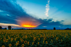 Sunset over a sun flower field Royalty Free Stock Photography
